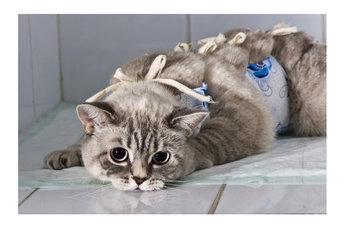 Выбор условий для операции - ветклиника или домашние стены - остается за хозяином. Успешная кастрация котов недорого проводится в лечебном учреждении, ненамного дороже она и на дому